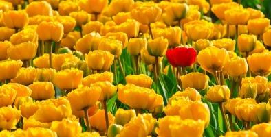 tulips-15155_640